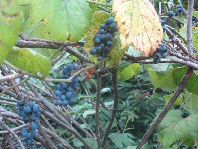 wild grapes2011