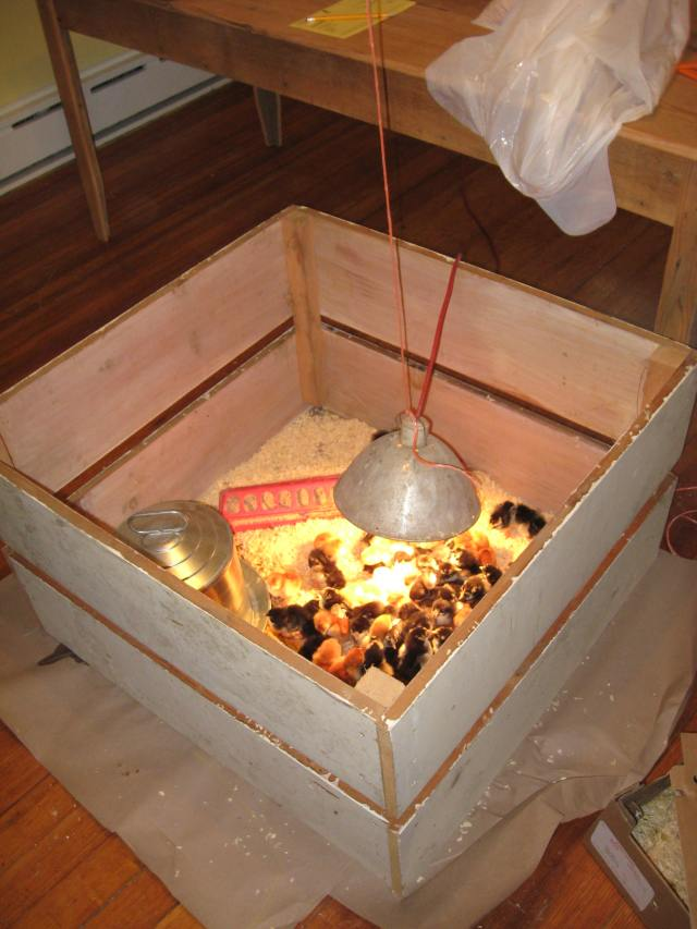 baby chicks spending the night in our living room under the heat lamp. Black Bedroom Furniture Sets. Home Design Ideas
