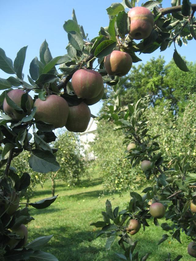 appple crop2012