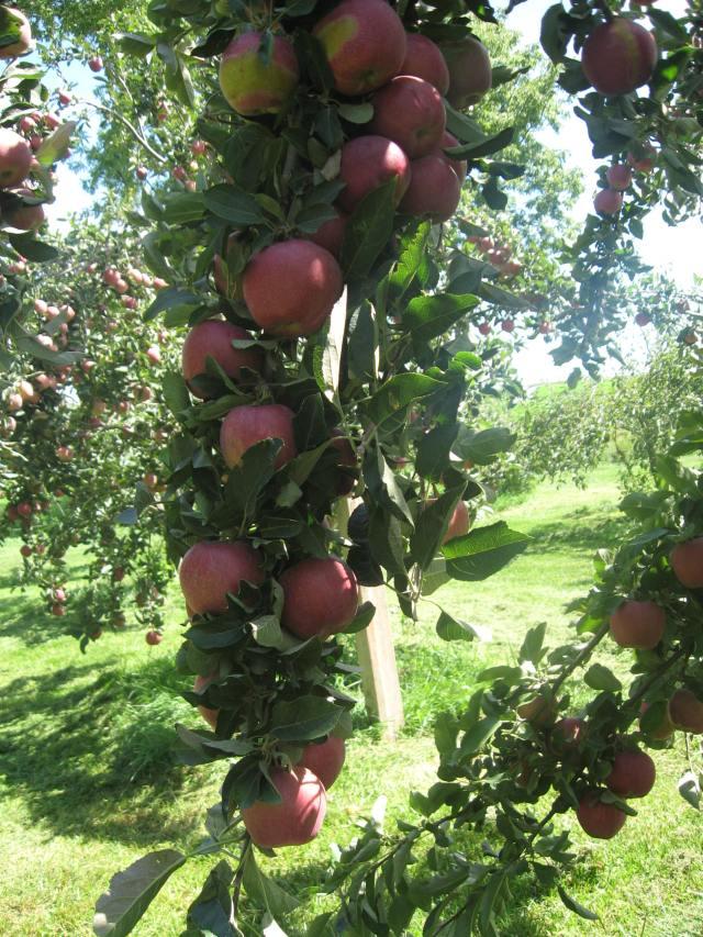 red delicious 2012 crop