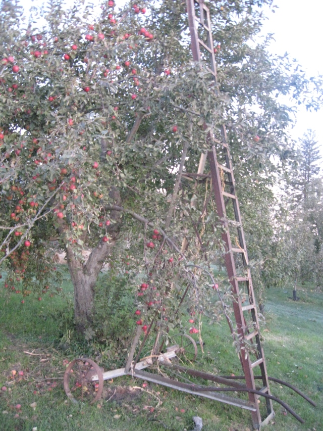 apple picking ladder