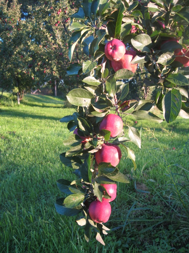 Super Chief red delicious apples