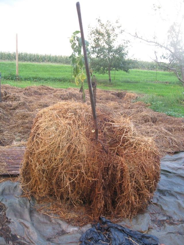rotten bale of hay