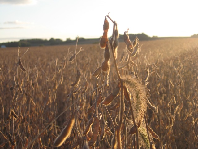 soybean and foxtail